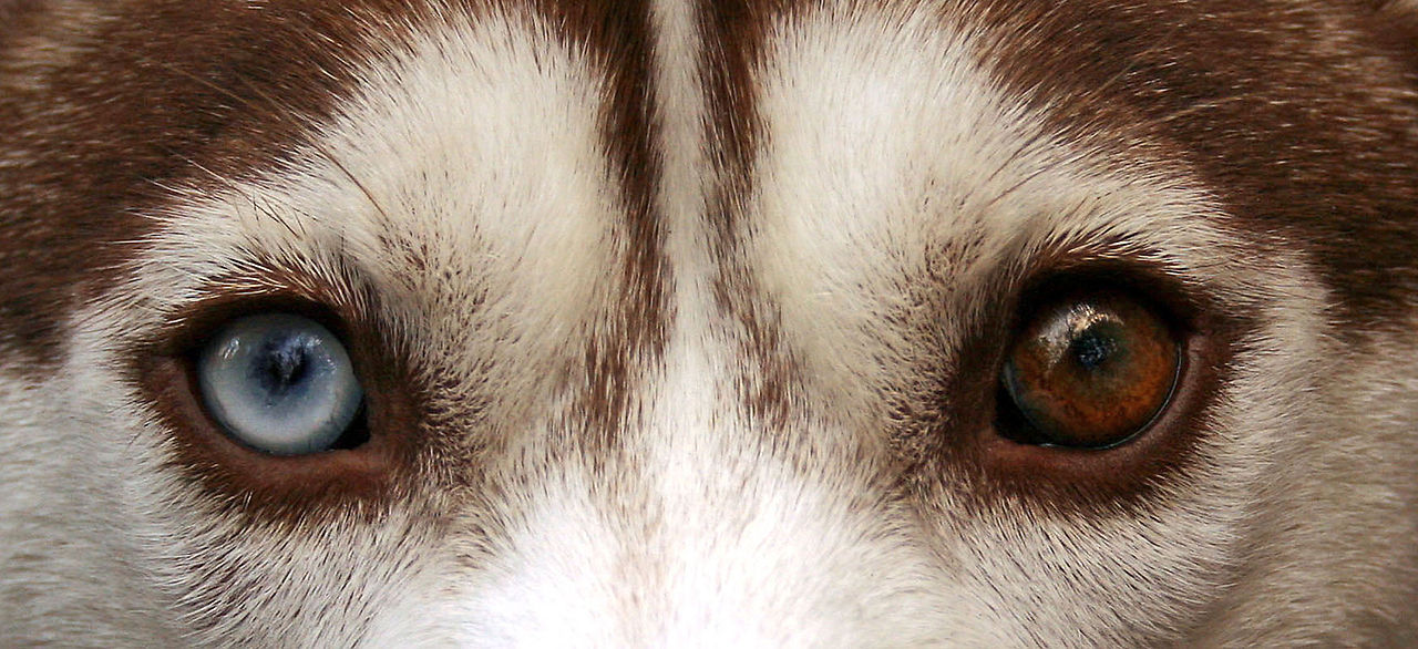 Siberian husky eyes jpg
